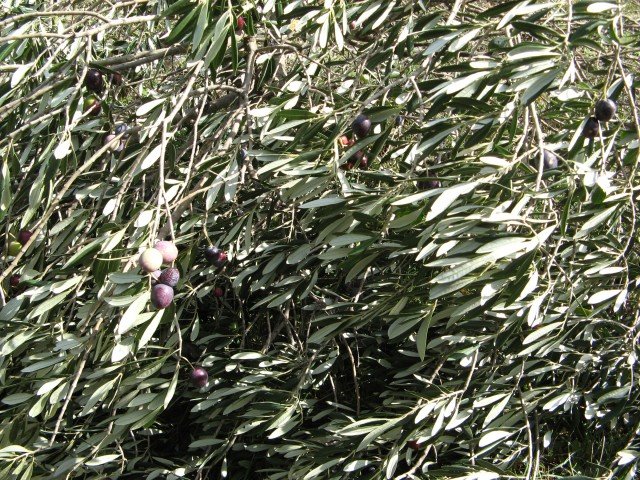 © Renate Egger. Olivenbaum/Olive-tree. Losijn, Croatia, 2010