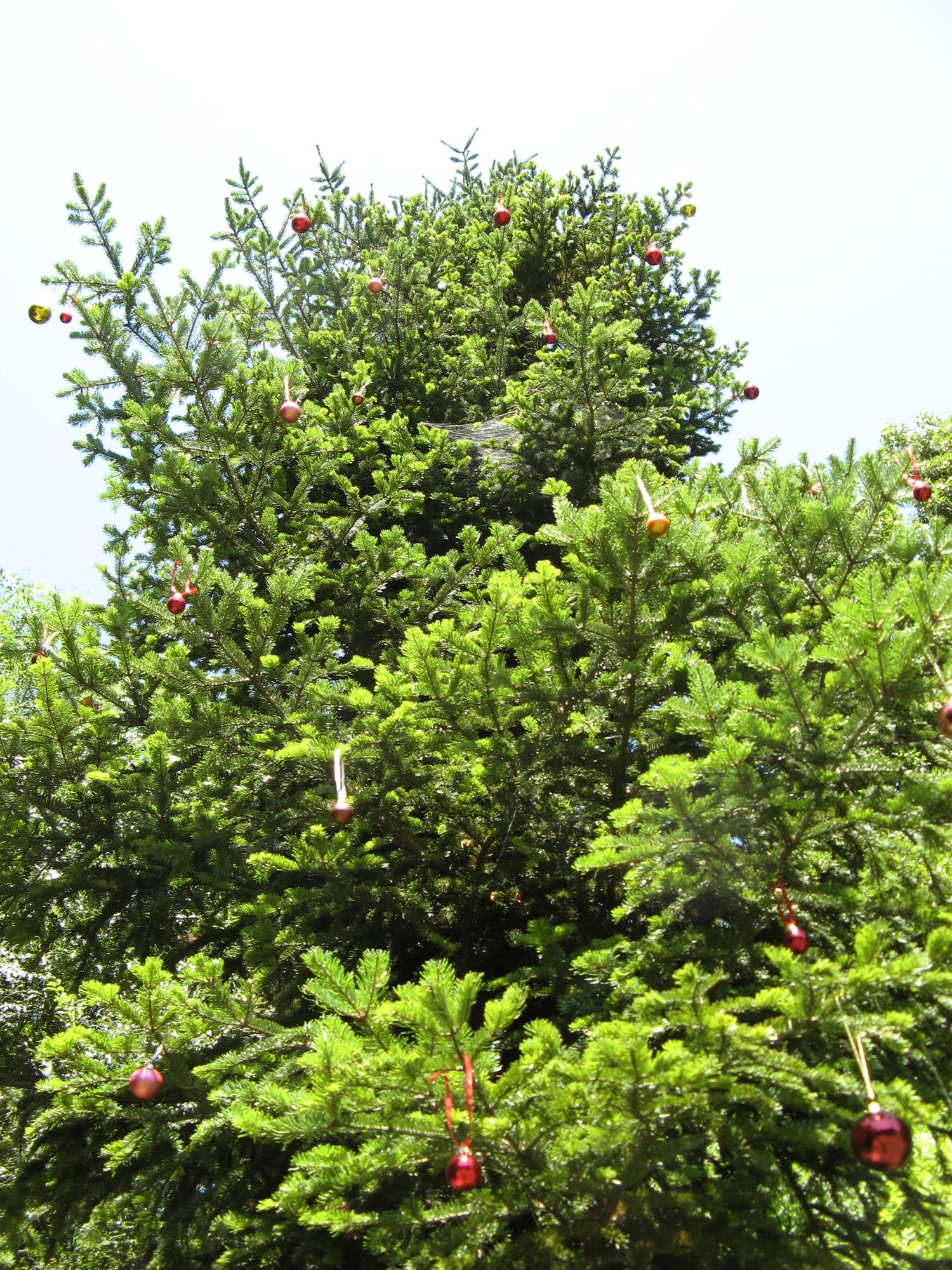 Foto Weihnachtsbaum.Weihnachtsbaum Christmas Tree Artfarm Pilastro Pilastro Di
